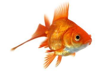 Consigli acquariomania milano for Quanto vivono i pesci rossi