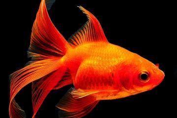 Acclimatazione dei pesci rossi consigli su come prendersi for Acquario per pesci rossi usato